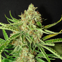 Resin Seeds L.A. Ultra Feminized