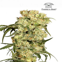 Dutch Passion Seeds Freddy's Best Feminized