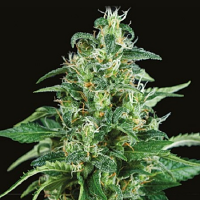 Pyramid Seeds Auto Kryptonite Feminized
