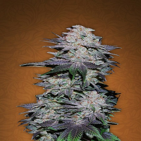 FastBuds Seeds Blackberry Auto Feminised (PICK N MIX)