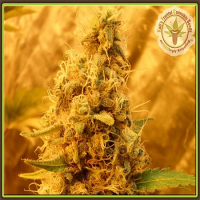 Dr Krippling Seeds Jack Mist Tree Feminized (PICK N MIX)