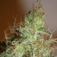 Cream of The Crop Seeds White Chronic Feminized
