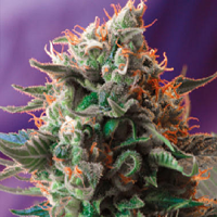 Sweet Seeds Jack 47 Feminized