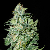 Cream of the Crop Seeds Crop Circle Auto Feminized