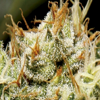 CBD Seeds Yumbolt Feminised