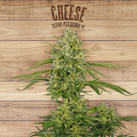 The Plant Organic Seeds Cheese Feminized