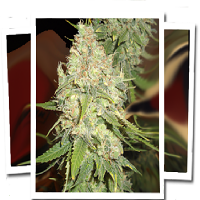 Emerald Triangle Seeds Blackberry OG Regular