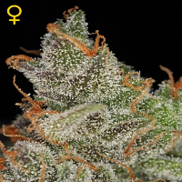Green House Seeds King's Kush Feminised