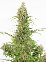Dinafem Seeds White Widow Autoflowering CBD Feminized (PICK N MIX)