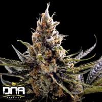 24K Gold – Feminized – DNA Genetics