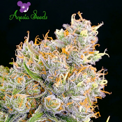 Future #1 - Feminized - Anesia Seeds