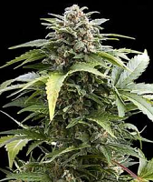 Dutch Passion Seeds Taiga #2 Auto Feminized