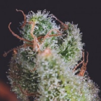 SuperCBDx Seeds Cheese x SCBDx Feminized (PICK N MIX)