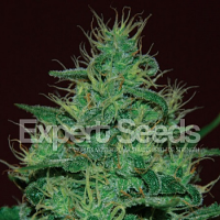 Expert Seeds Amnesia Haze Auto Feminized (PICK N MIX)