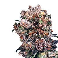 Dispensario Seeds Trinity Kush Feminized