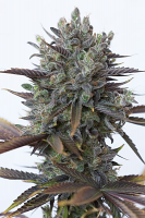 Dinafem Seeds Purple Orange CBD Feminized