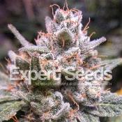 Expert Gorilla Auto – Feminized – Expert Seeds