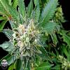 Dinafem Seeds Diesel Feminized (PICK N MIX)