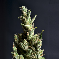 CBD Seeds Amnesia Feminized