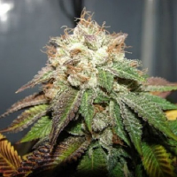 Cali Connection Seeds Pre-98 Bubba BX2 Feminized