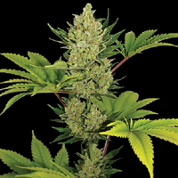 Barney's Farm Seeds Auto Blue Cheese Feminized (PICK N MIX)