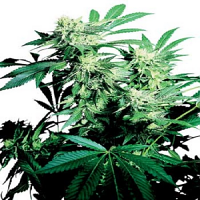 Skunk Kush – Regular – Sensi Seeds