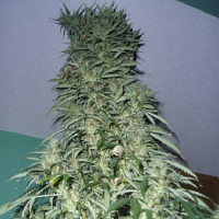 Shortstuff Seeds Super Stinky Super Auto Feminized
