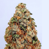 Big Head Seeds Dogstar Dawg Feminized