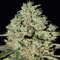 Super Strains Seeds DFA Auto Feminized