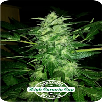 Dispensario Seeds Auto Relax Feminized