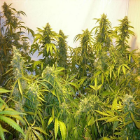 Flash Seeds Black Samba Super Auto Feminized