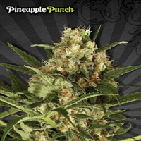 Auto Seeds Pineapple Punch Auto Feminised