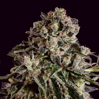 SuperCBDx Seeds Black Critical x SCBDx Feminized
