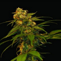 DNA Genetics Seeds Lemon OG Kush Feminised