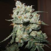 O.G. Kush - Feminized - Bulk Seeds Premium