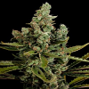 Dinafem Seeds Cheese Feminized (PICK N MIX)