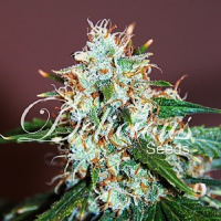 Delicious Seeds Critical Neville Haze Feminized