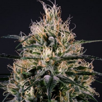 Medical Marijuana Genetics Green Doctor (GD-1) Feminized