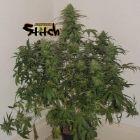 Flash Autoflowering Seeds Russian Fuel Auto Feminised
