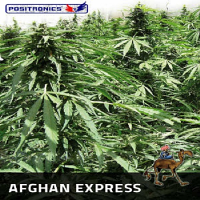 Positronics Seeds Afghan Express Auto Feminized (PICK N MIX)