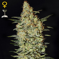 Green House Seeds Nevilles Haze Feminized