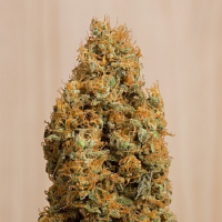 Humboldt Seed Organisation Green Crack CBD Feminized