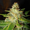 World of Seeds Legends Collection New York Special Feminized