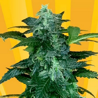 Freedom of Seeds Pixie Punch Auto Feminised