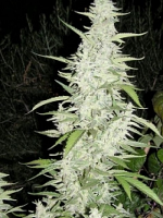Female Seeds Maroc Feminized (Outdoor)