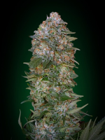 Advanced Seeds Critical Soma Feminized