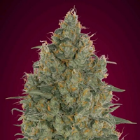 Strawberry Gum Feminized Marijuana Seeds Advanced Seeds (PICK N MIX)