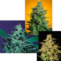 Paradise Seeds Sativa Champion Pack Feminized