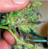 Medical Seeds Channel + Feminized PICK N MIX