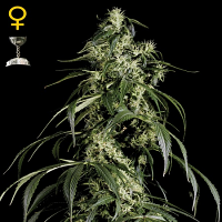 Green House Seeds Arjans Haze #1 Feminised